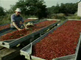 The cranberry culture at Terschelling