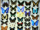 15.000 exotic butterflies