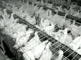 56,000 chicken lay 40,000 eggs a year