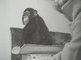 Chimpanzee Charley in babycare